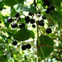 Maqui Berry  -  The Superfruit Of 2012