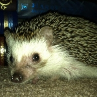 Owning A Pet Hedgehog And What to Expect