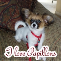 Papillon Dog Breed  -  Getting to Know Them