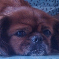 Pekingese Dogs: The Perfect Addition to Your Family