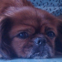 Pekingese Home Alone