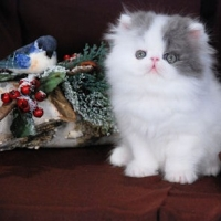 Persian Cats And Hypertrophic Cardiomyopathy (hcm)
