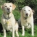 Raising a Labrador Retriever- Health Problems in Dogs