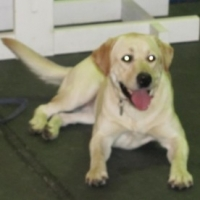 Raising Your Labrador Retriever- Lab Colors