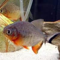 Red Belly Pacu