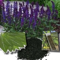 Salvia: the New Non Illegal Drug Younger People Are Increasingly Using