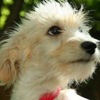 Schnoodle Potty Training – 3 Steps to Success