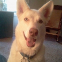 Siberian Husky – 7 Things I Wish the Dog Books Had Told Me
