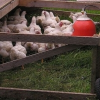 Simple Chicken Coops  -  Basic Needs