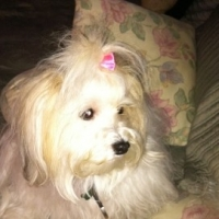 Some Tips for Selecting A Havanese Breeder