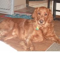 The All Rounded Dog, the Golden Retriever