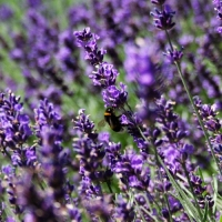 The Benefits Of Using Lavender Oil for Acne Scars