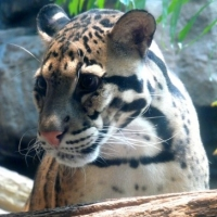 The Clouded Leopard – Vulnerable, Mysterious, Beautiful
