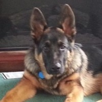 The German Shepherd, A Special Kind Of Breed