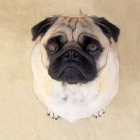 The History Of The Pug