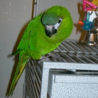 The Majestic Hahns Macaw