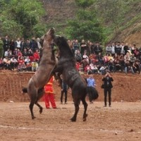 The Recovery Of Horse Fight Festival In Northeast Vietnam