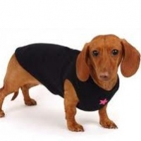 To Sew Or to Knit Clothes (a Suit) for Your Dachshund Or Yorkie?