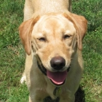Training your Labrador Retriever-Puppy Ping Pong