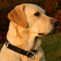 Training Your Labrador Retriever-Retriever Field Trials