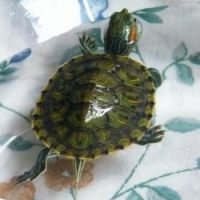 Turtle Talk – Caring for Your Red-eared Slider Turtle