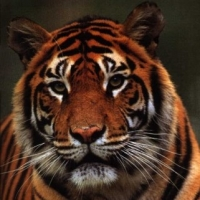 What to Do With A Bengal Tiger In Your Lifeboat?