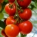 When to Plant Tomato Seeds Indoors