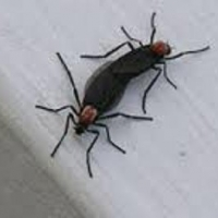 Where Do Lovebugs Come From?