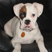 White Boxer Dogs  -  Facts And Myths