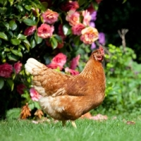 Why Should You Build A Chicken Coop Of Your Own?